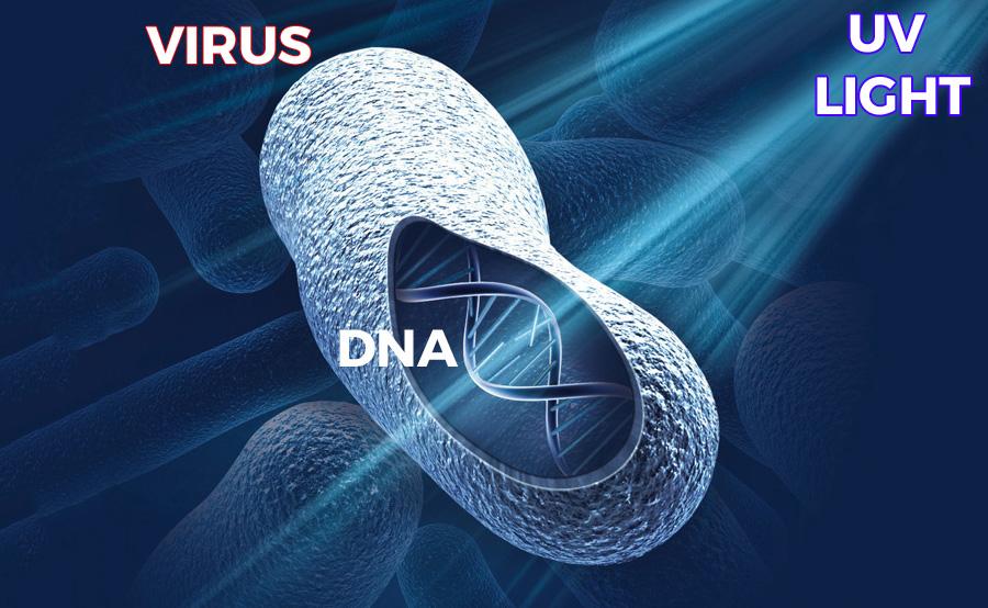 UV light breaks the DNA of viruses and bacteria